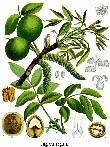 Ceviz Yaprak ve meyvesi - Büyütmek için TIKLAYINIZ
